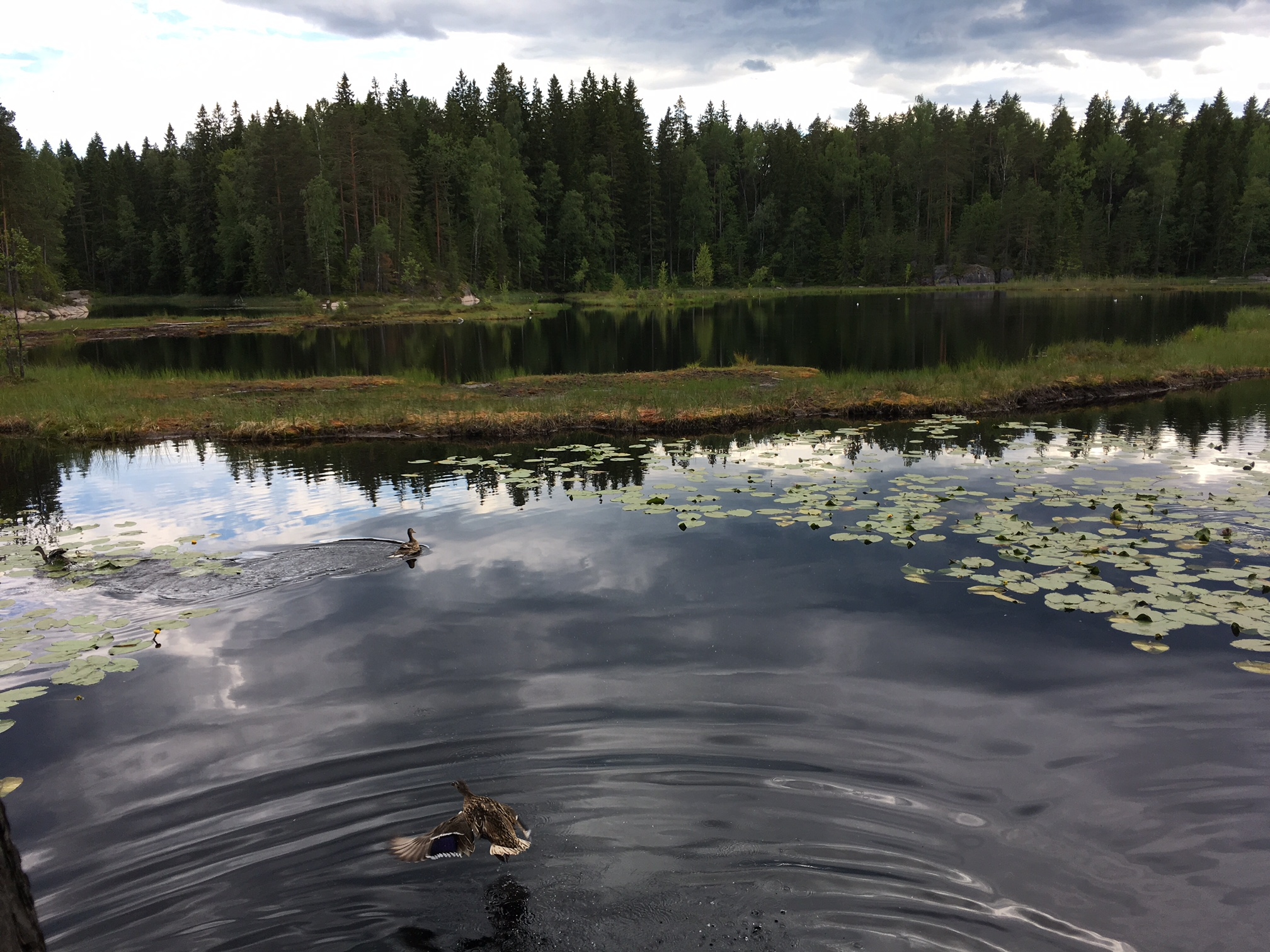 Nuuksio national park Lake Mustalampi Ducks