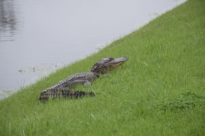 middleton place crocodile