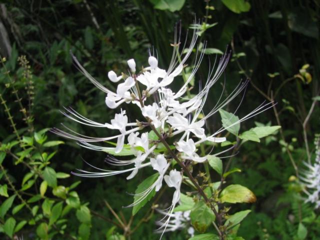Hawaii tropical botanical garden Flowers