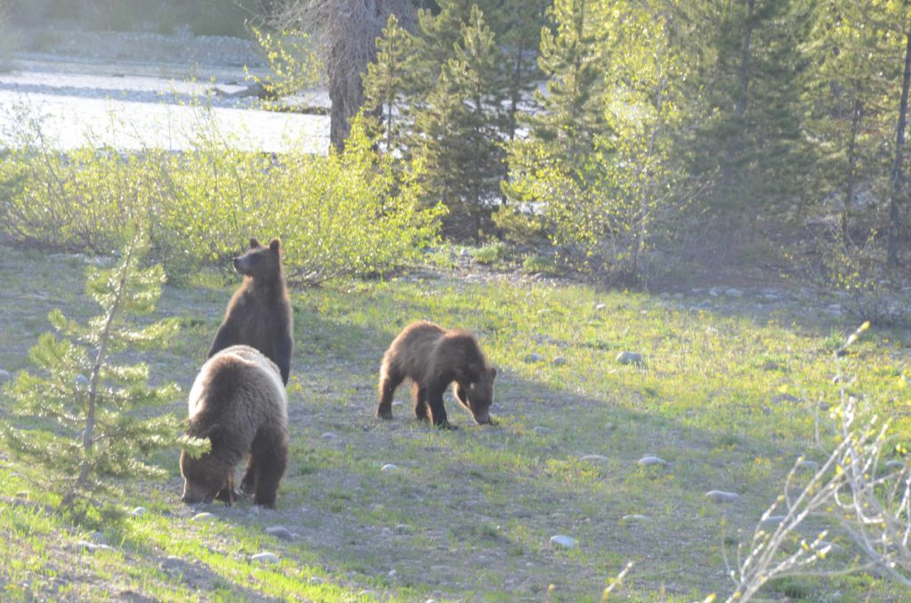 yellowstone animals three bear