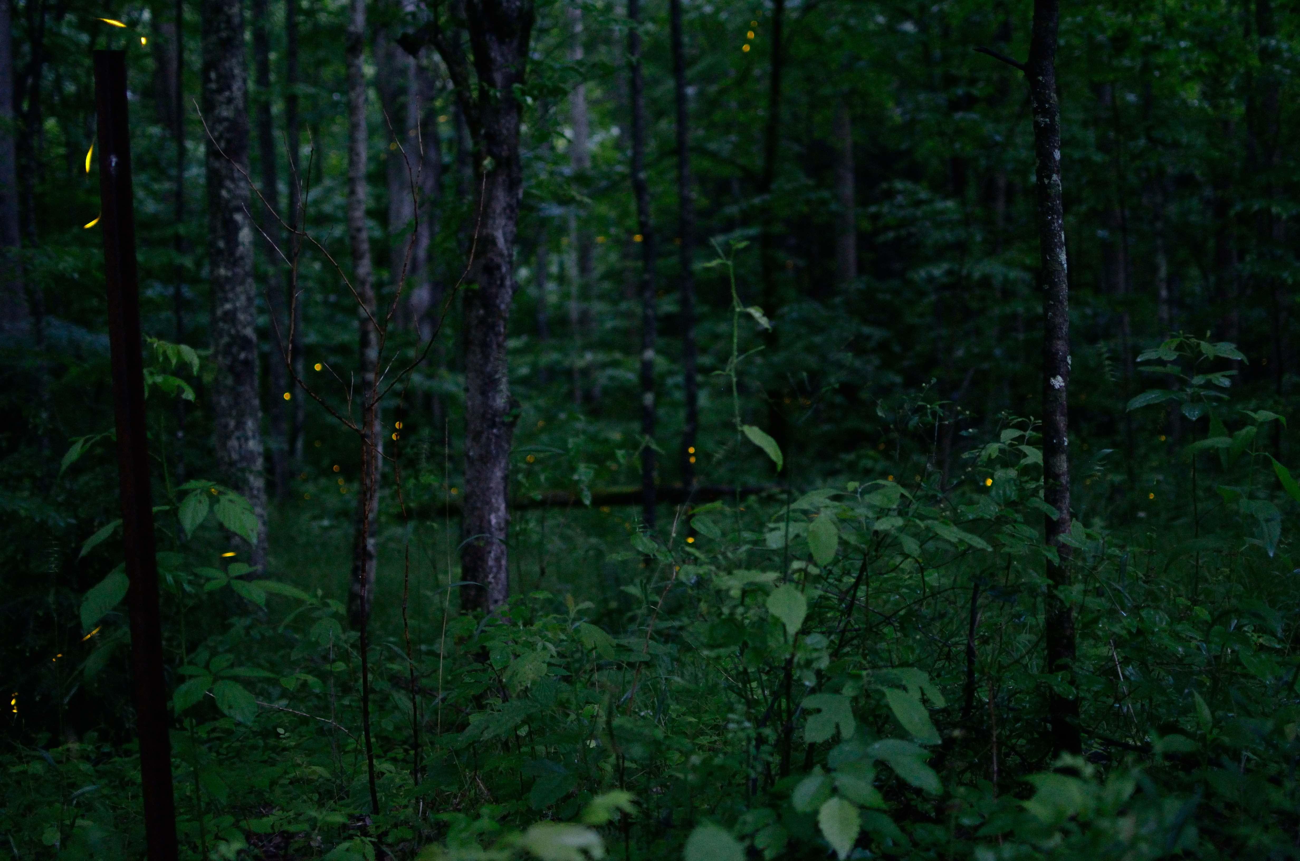 スモーキーマウンテン国立公園の蛍