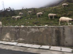 黄龍への道にいた牛