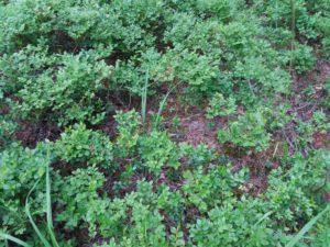ヌークシオ国立公園のブルーベリー