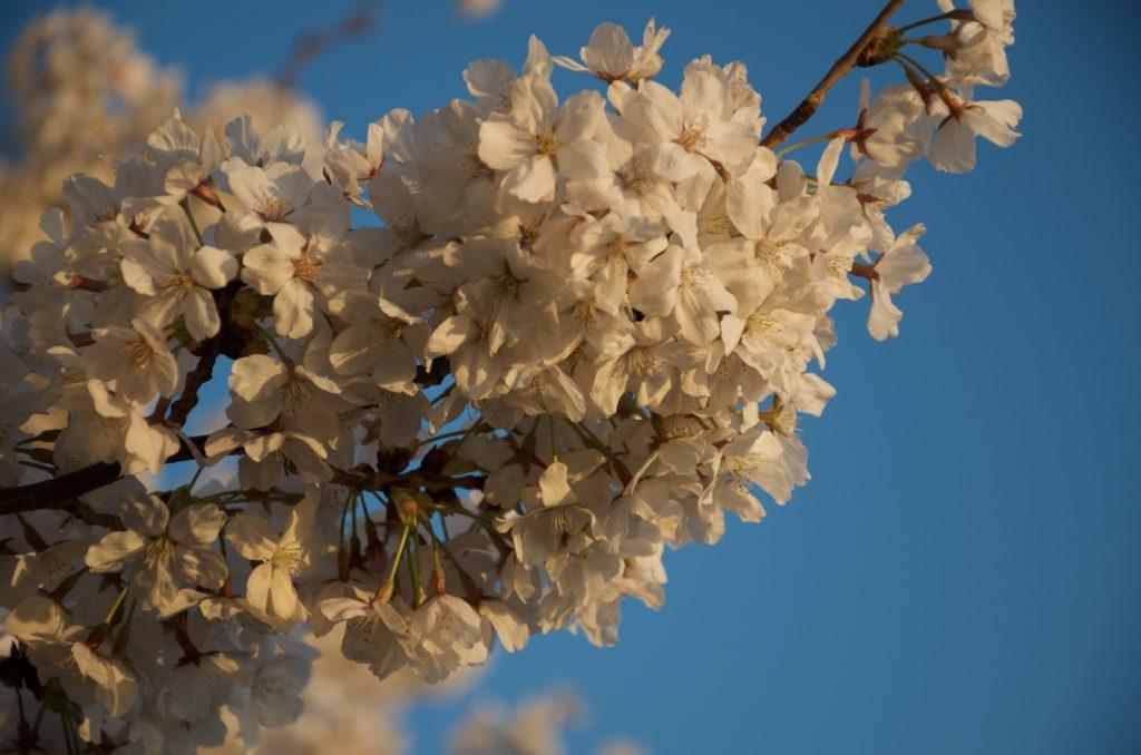 夕陽に染まるDCの桜