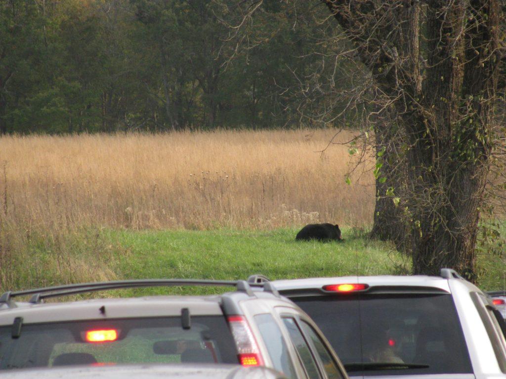 ケイズコーブのクマ渋滞