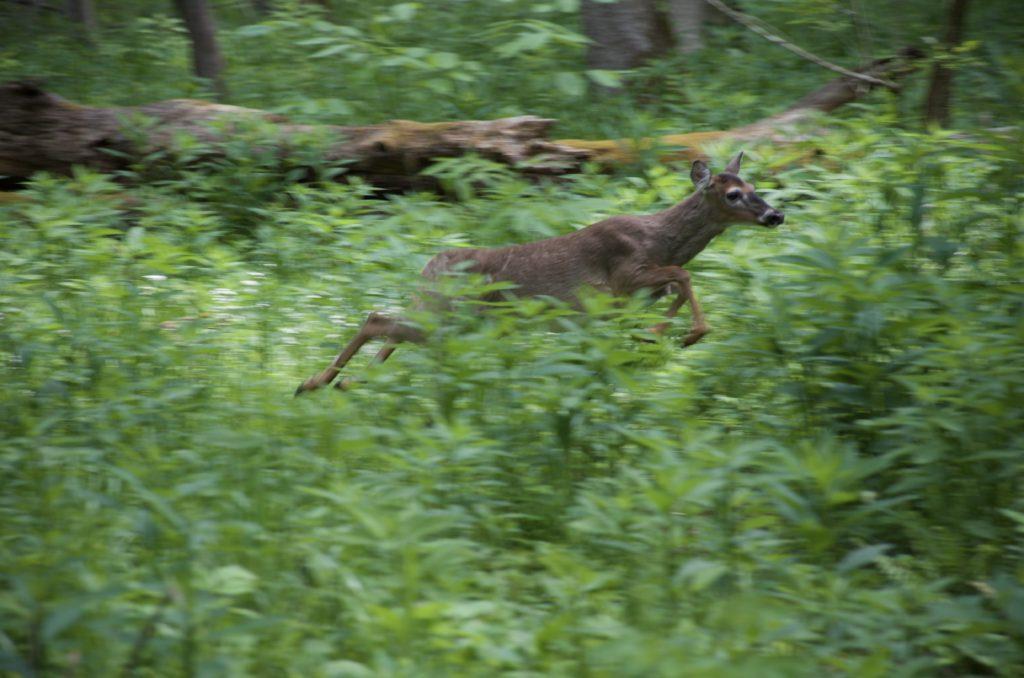 ケイズコーブの鹿