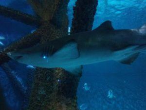 メキシコ湾の鮫