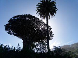 太陽を背にした竜血樹
