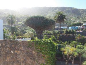 公園の外から見た竜血樹