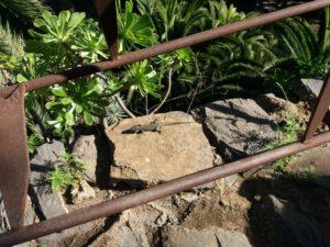 多肉植物とトカゲ